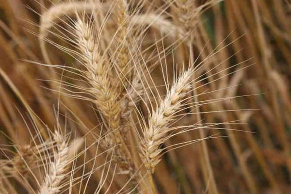 小麥4.bmp