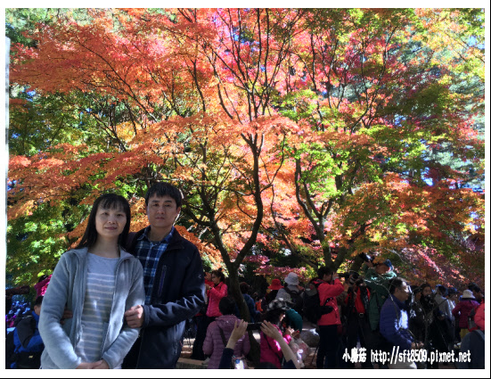 105.11.20.(8)福壽山農場賞楓.JPG