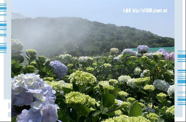 108.5.12.(7)竹子湖-花與樹繡球花田.JPG