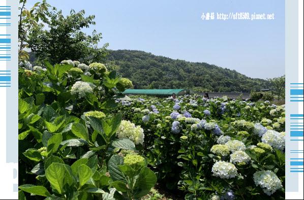 108.5.12.(98)竹子湖-花與樹繡球花田.JPG