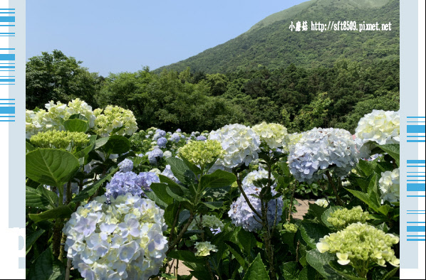 108.5.12.(102)竹子湖-花與樹繡球花田.JPG
