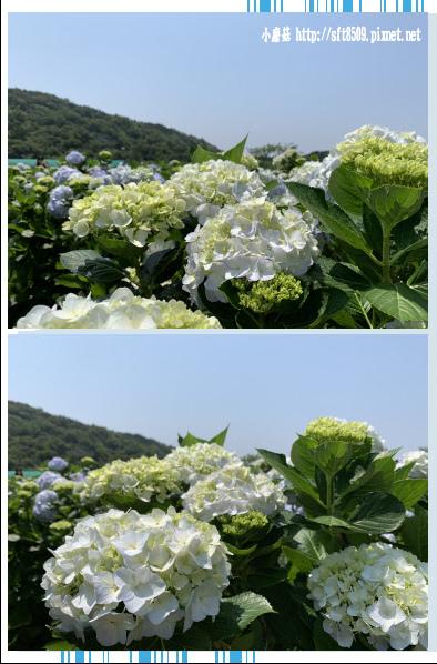 108.5.12.(104)竹子湖-花與樹繡球花田.JPG