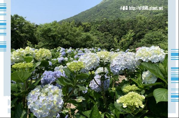 108.5.12.(101)竹子湖-花與樹繡球花田.JPG