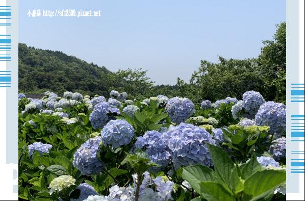 108.5.12.(120)竹子湖-花與樹繡球花田.JPG