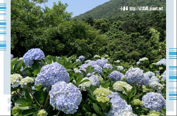 108.5.12.(124)竹子湖-花與樹繡球花田.JPG