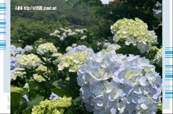 108.5.12.(187)竹子湖-花與樹繡球花田.JPG