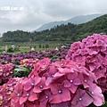 108.5.26.(52)竹子湖-大賞園繡球花田.JPG