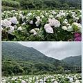 108.5.26.(79)竹子湖-大賞園繡球花田.JPG