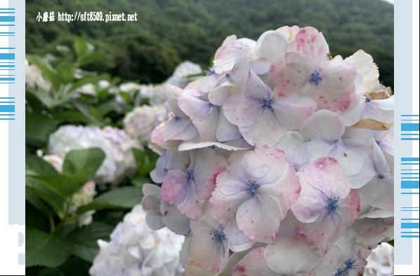 108.5.26.(83)竹子湖-大賞園繡球花田.JPG