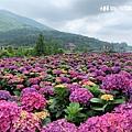 108.5.26.(118)竹子湖-大賞園繡球花田.JPG