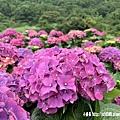 108.5.26.(157)竹子湖-大賞園繡球花田.JPG