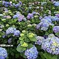 108.5.26.(208)竹子湖-大賞園繡球花田.JPG
