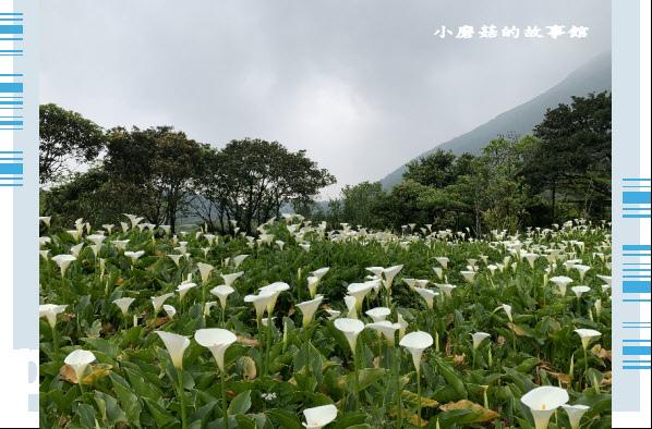 109.4.19.(51)竹子湖-苗榜海芋田.JPG