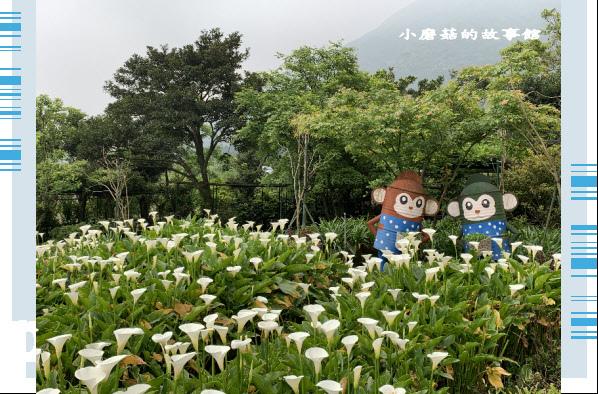 109.4.19.(53)竹子湖-苗榜海芋田.JPG