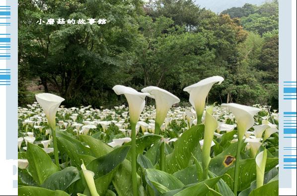 109.4.19.(62)竹子湖-苗榜海芋田.JPG