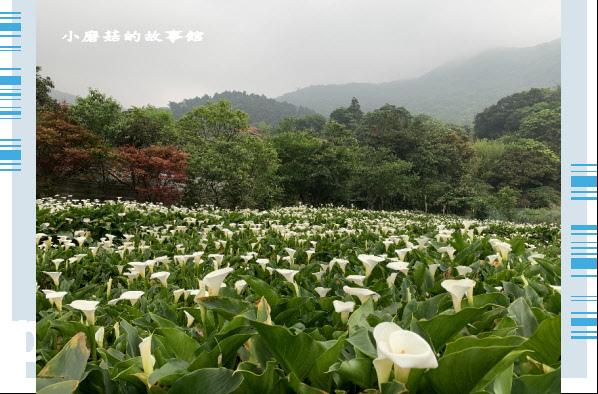 109.4.19.(74)竹子湖-苗榜海芋田.JPG