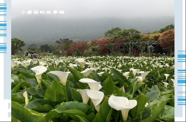 109.4.19.(75)竹子湖-苗榜海芋田.JPG