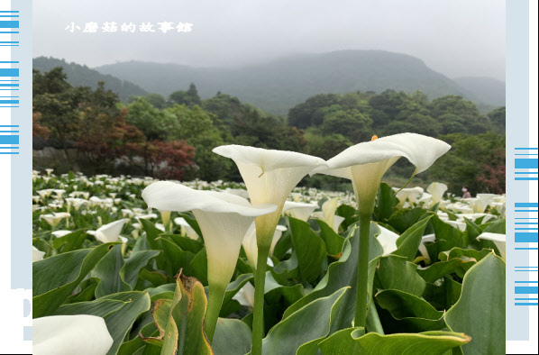 109.4.19.(77)竹子湖-苗榜海芋田.JPG