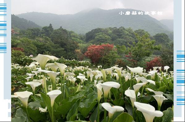 109.4.19.(81)竹子湖-苗榜海芋田.JPG