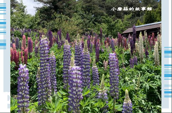 109.5.16.(166)福壽山農場‧魯冰花季.JPG