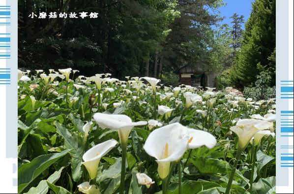 109.5.16.(199)福壽山農場‧魯冰花季.JPG