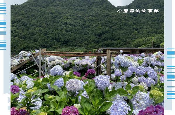 109.6.3.(159)財福繡球花田.JPG