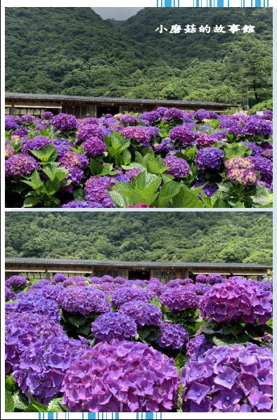 109.6.3.(226)財福繡球花田.JPG
