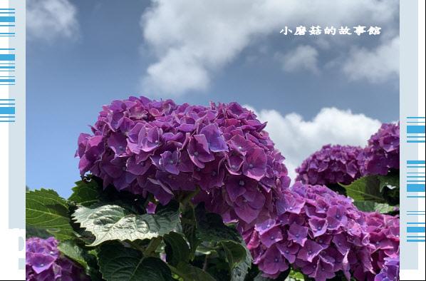 109.6.3.(237)財福繡球花田.JPG