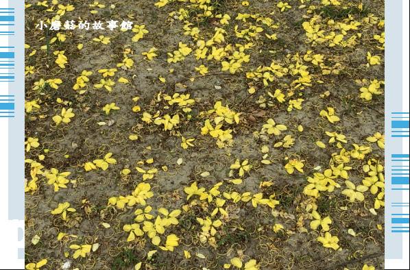 109.6.7.(100)嘉義長庚科技大學旁的阿勃勒.JPG