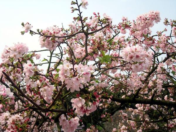 比起兩週前來看,整個櫻花盛開囉~