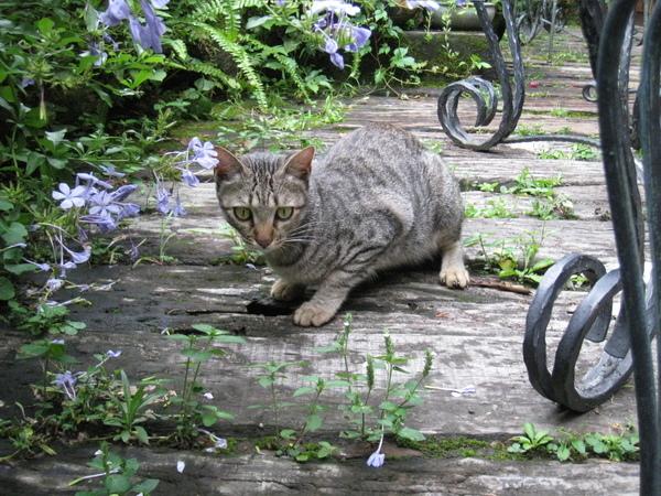 山形玫瑰養的貓