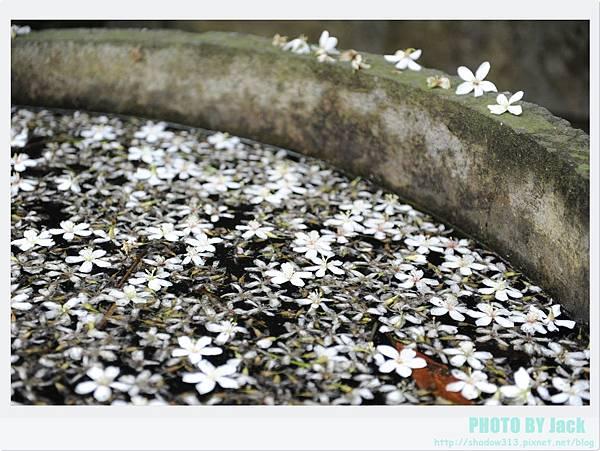 荷苞山客家桐花祭 057