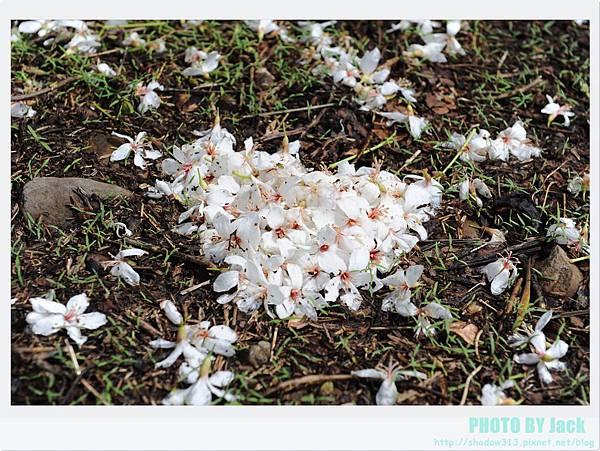 荷苞山客家桐花祭 060