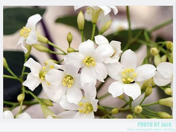 荷苞山客家桐花祭 079