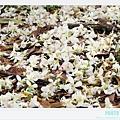 荷苞山客家桐花祭 081