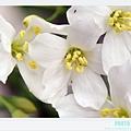 荷苞山客家桐花祭 088