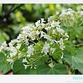 荷苞山客家桐花祭 097