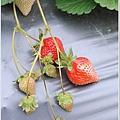 大湖草莓之旅 007.JPG