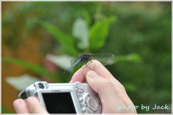 停在手上的蜻蜓