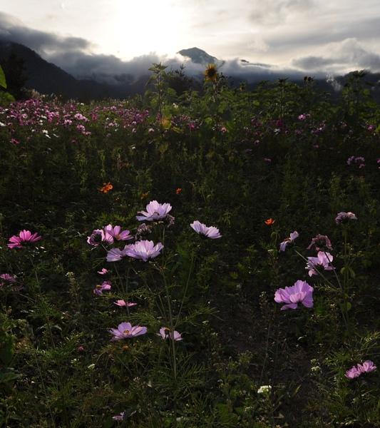 屋外的菊花