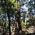最大的神木
