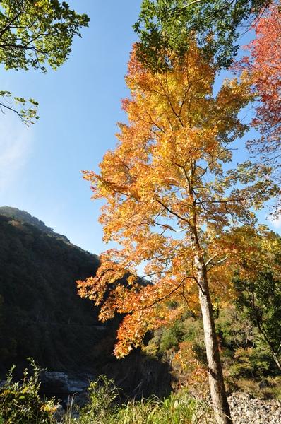 回到第一天的橋邊拍楓樹
