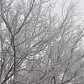 上山途中結霜的樹