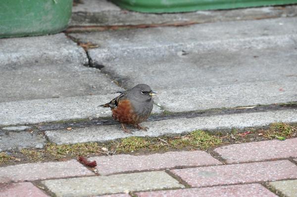 不怕人的小鳥