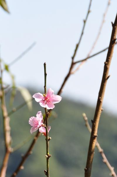 應該是櫻花吧~~