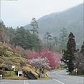 2011 武陵櫻花祭 213.JPG