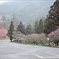 2011 武陵櫻花祭 109.JPG