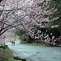 2011 武陵櫻花祭 129.JPG