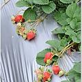 大湖草莓之旅 002.JPG