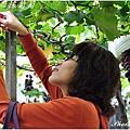 專注剪葡萄中